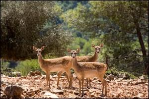 יחמורים בחי בר כרמל קרדיט צילום רשות הטבע והגנים (3)