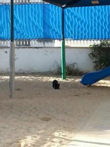 פרעוש החול, גן עירייה בראשון לציון